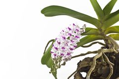 Pink Rhynchostylis gigantea Royalty Free Stock Photos