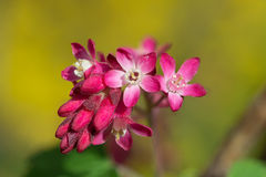 Pink ribes sanguineum flower Stock Photo