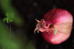 Pink ripe decorative pomegranate on the ground. With green branch Stock Photo