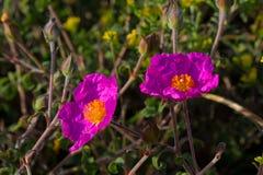 Pink Rock-Rose stock photos