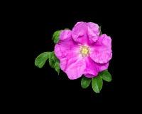 Pink rock rose closeup Stock Images