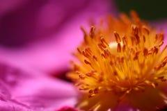 Pink Rockrose Stock Image