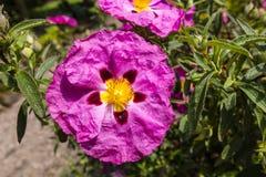 Pink Rockrose flower. Royalty Free Stock Images