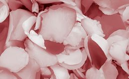 Pink romantic rose flower petals background royalty free stock photography