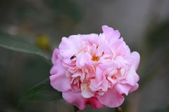 Pink Rosa aurora,rose bengal camellia, japonica in full bloom with beed and green leaf Stock Photo