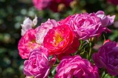 Pink rosa dumalis Royalty Free Stock Photography