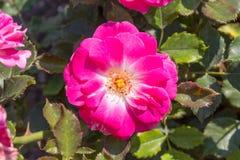 Pink rosa dumalis Stock Photo