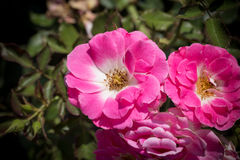Pink rosa dumalis Stock Photography