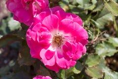 Pink rosa dumalis Stock Images