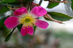 Pink Rosa Glauca stock photography