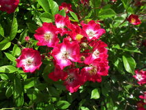 Pink Rosa rubiginosa. Bush with leaves royalty free stock photo