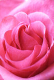 Pink rose. Rose closeup Stock Image