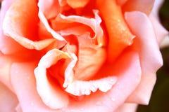 Pink rose. Macro shot of a pink rose royalty free stock photography