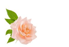 Pink Rose. Mini pink rose isolated on a white background Stock Photos
