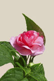 Pink Rose. This image shows a isolated pink rose stock image