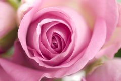pink rose royaltyfria foton