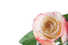 Pink rose. Isolated on white Stock Photos