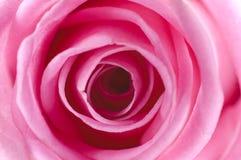 Pink rose. Close up view Stock Image
