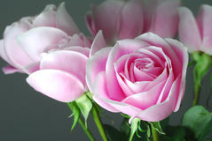 Pink Rose. With dual color Stock Photos