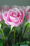 Pink Rose. With Dual color Royalty Free Stock Photography