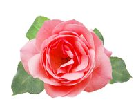 A pink rose. Isolated with a pink rose Royalty Free Stock Photo