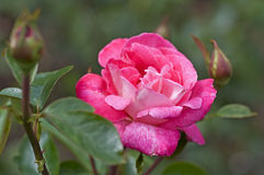 Pink rose. Nature. Garden flowers. Close view of a pink rose stock image