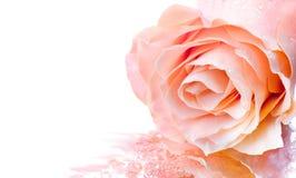 Free Pink Rose Stock Photos - 15009313