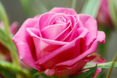 Pink rose. As symbol of Love Royalty Free Stock Photo