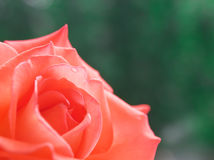 Pink rose. Rose on a bright background. The natural composition Stock Image