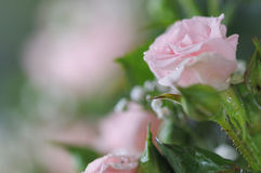 Pink rose. Stock Images