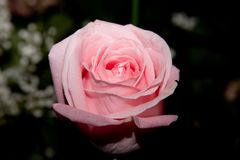 Pink rose. Closeup of a pink rose with a diffuse lighting Royalty Free Stock Photo