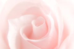 Pink rose. Pure background - pink rose out of focus