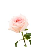 Pink rose. One beautiful pink rose on white whith copyspace Royalty Free Stock Photos