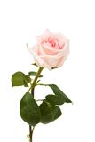 Pink rose. On white background, close up Stock Images