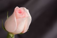 Pink rose. Beautiful pink rose on grey background, close-up Stock Photography