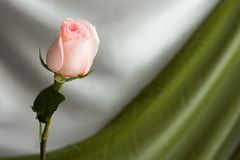 Pink rose. Beautiful pink rose on grey green and gray background Stock Images
