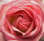 Pink rose Royalty Free Stock Images