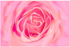 Pink Rose. In close-up view Stock Image
