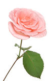 Pink rose. Beautiful pink rose isolated on white background Royalty Free Stock Image