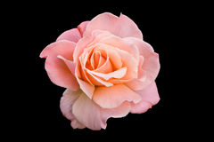 Pink Rose Royalty Free Stock Photos