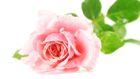 Pink Rose. Beautiful pink rose isolated on white Royalty Free Stock Images