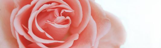 Pink rose. On white background Royalty Free Stock Image