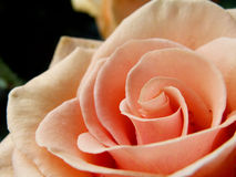 Pink rose. Beautiful pink rose of peach color Stock Images