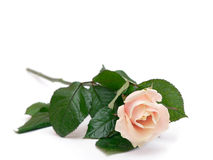 Pink rose 2. Pink Rose isolated (ver 2 Stock Photo