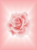 Pink Rose 2 Stock Photos