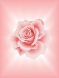 Pink Rose 2 Stock Photos