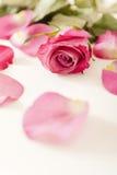 Pink rose. Close up of a pink rose and petals Stock Photo