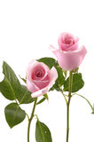 Pink rose. Two pink rose on stem with green leaves Royalty Free Stock Image