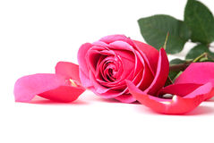 Pink rose. On a white background Stock Photography