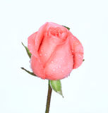 Pink rose. Isolate on the white background Royalty Free Stock Photo